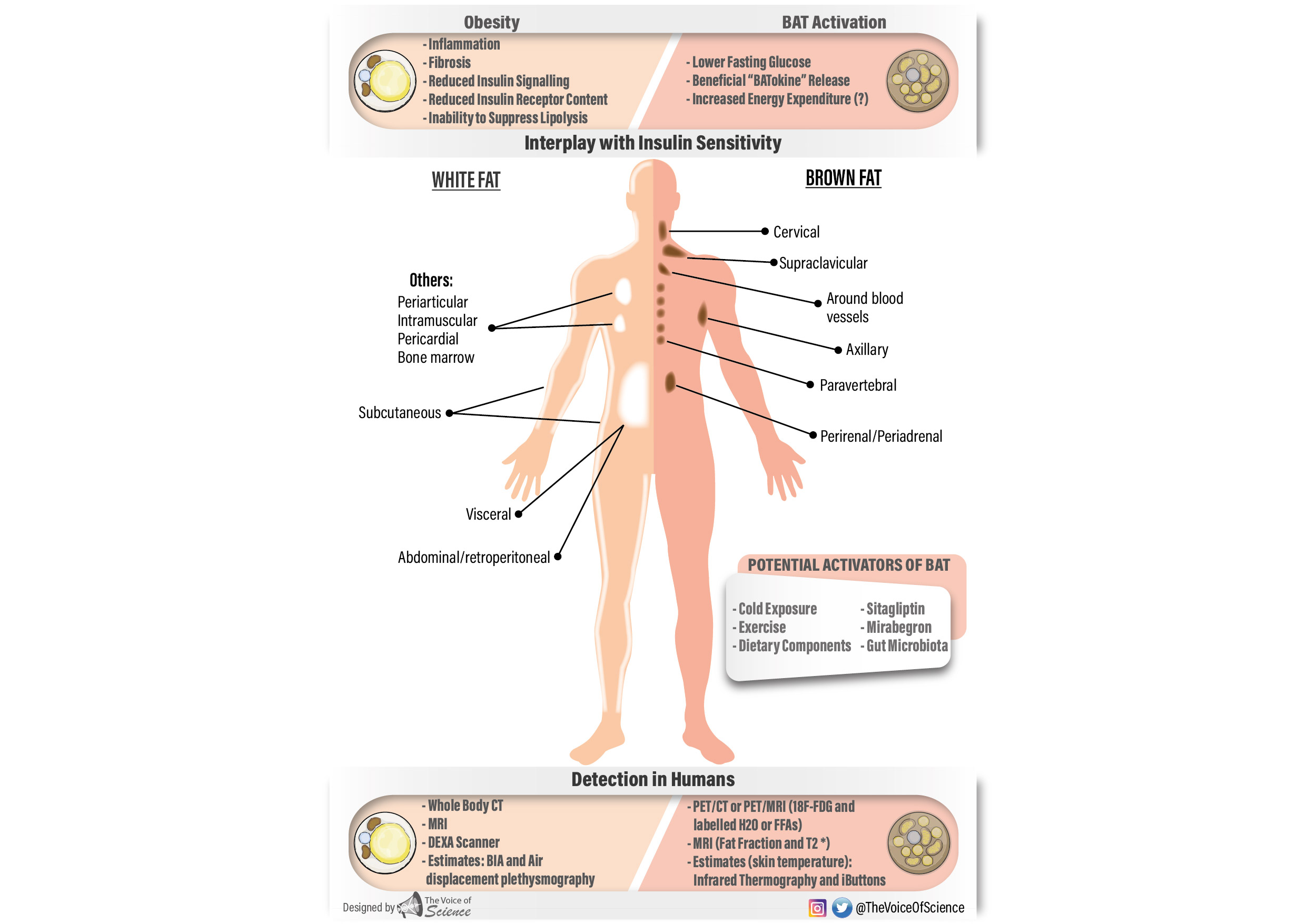 Brown adipose tissue in humans
